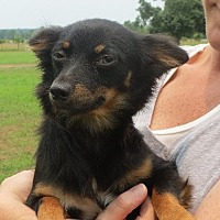 Chihuahua Mix Puppy for adoption in Greenville, Rhode Island - Spencer Reed