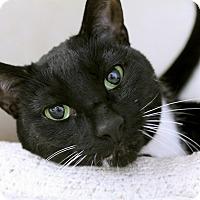 Adopt A Pet :: Amelia Bedelia - Chicago, IL