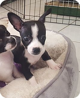 Terrier (Unknown Type, Small) Mix Puppy for adoption in Mission Viejo, California - MASON