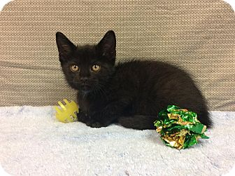 Domestic Shorthair Kitten for adoption in Moody, Alabama - Jack
