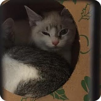 Siamese Cat for adoption in Denver, Colorado - Widdle