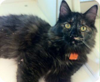 Calico Cat for adoption in Lake Elsinore, California - Amaya