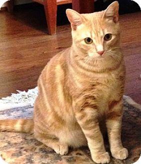 Domestic Shorthair Cat for adoption in Houston, Texas - Caesar