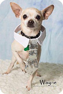Chihuahua Mix Dog for adoption in Gilbert, Arizona - Wayne