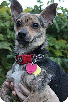 Dachshund/Chihuahua Mix Dog for adoption in Palmyra, New Jersey - Lorenzo