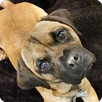 Adopt A Pet :: Charlie Brown - Franklin, NH
