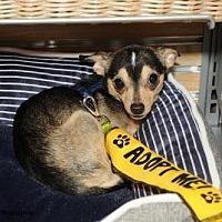 Adopt A Pet :: Bear - N. Babylon, NY