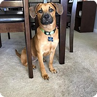 Adopt A Pet :: Sophie - Charlotte, NC
