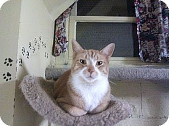 American Shorthair Cat for adoption in Lombard, Illinois - Chester