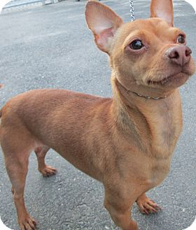 Chihuahua Dog for adoption in Forked River, New Jersey - Solo