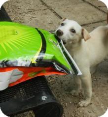 Labrador Retriever Mix Puppy for adoption in Antioch, Illinois - Lizzie