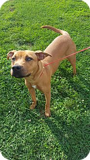 Terrier (Unknown Type, Medium) Mix Dog for adoption in Franklin, Indiana - Lady