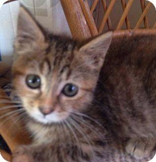 Domestic Shorthair Kitten for adoption in Evans, West Virginia - Halo