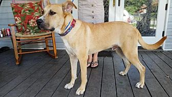 Great Dane/German Shepherd Dog Mix Dog for adoption in Jesup, Georgia - Broderick
