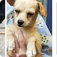 Adopt A Pet :: Daphnie - springtown, TX