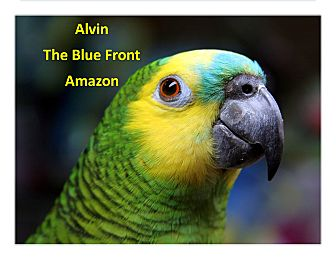 Amazon for adoption in Vancouver, Washington - Alvin The Blue Front Amazon