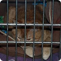 Manx Cat for adoption in Salem, West Virginia - Fireball
