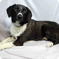 Adopt A Pet :: Ava - Westminster, CO
