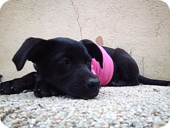 Terrier (Unknown Type, Small)/Labrador Retriever Mix Puppy for adoption in San Diego, California - Oli