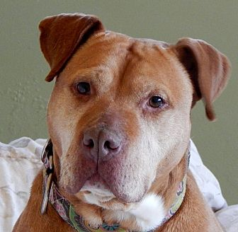 American Pit Bull Terrier Dog for adoption in Lapeer, Michigan - Courage