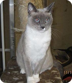 Siamese Cat for adoption in San Ysidro, California - Lily