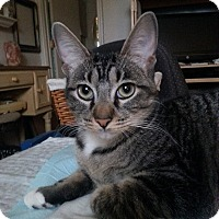 Adopt A Pet :: Tabby LS - Schertz, TX