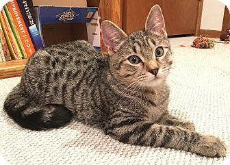 Domestic Shorthair Kitten for adoption in Kirkland, Washington - Apollo and Athena