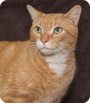 Domestic Shorthair Cat for adoption in Elmwood Park, New Jersey - Mr Rogers