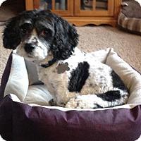 Adopt A Pet :: Gabbie - Flossmoor, IL