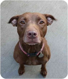 American Staffordshire Terrier/Pit Bull Terrier Mix Dog for adoption in Chicago, Illinois - Jewels(ADOPTED!)