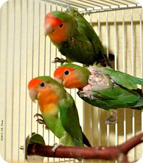 Lovebird for adoption in Lenexa, Kansas - Emerald