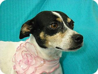 Rat Terrier Dog for adoption in Poteau, Oklahoma - Lil Bitty