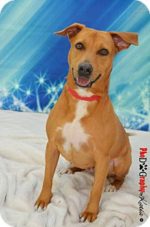 Labrador Retriever Mix Dog for adoption in Plantation, Florida - REGINA
