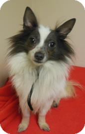 Chihuahua Mix Dog for adoption in Gary, Indiana - Larry