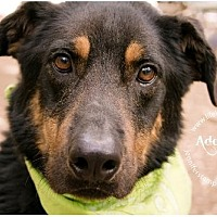 German Shepherd Dog Mix Dog for adoption in Lago Vista, Texas - Colt