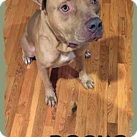 Adopt A Pet :: Rocko - Orlando, FL