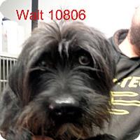 Adopt A Pet :: Walt - Greencastle, NC