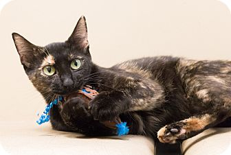 Domestic Shorthair Cat for adoption in Chicago, Illinois - Samba