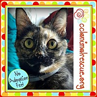 Domestic Mediumhair Cat for adoption in Panama City, Florida - Cookie