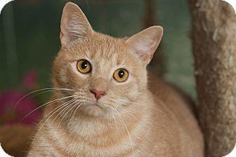 Domestic Shorthair Cat for adoption in Coronado, California - Simba