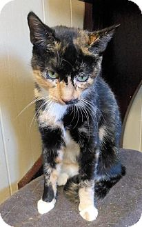 Domestic Shorthair Cat for adoption in Sauk Rapids, Minnesota - Belinda
