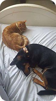 Miniature Pinscher/Dachshund Mix Dog for adoption in Smithfield, North Carolina - Hot Rod