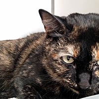 Adopt A Pet :: Cheetra - Las Vegas, NV