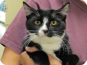 Domestic Shorthair Kitten for adoption in Diamond Bar, California - COLETTE