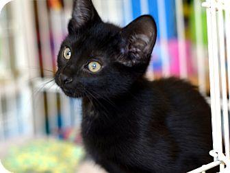 Bombay Kitten for adoption in Brooklyn, New York - Olaf