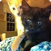 Adopt A Pet :: Kittens - Chesterfield, VA