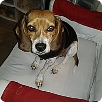 Adopt A Pet :: Ellee - Courtesy - Indianapolis, IN