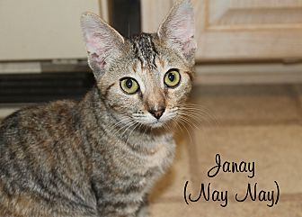 Domestic Shorthair Cat for adoption in Wichita Falls, Texas - Janay