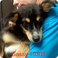 Adopt A Pet :: Sassy - Greencastle, NC