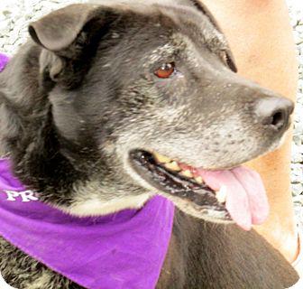 Australian Cattle Dog/Labrador Retriever Mix Dog for adoption in Eden, North Carolina - Gunny